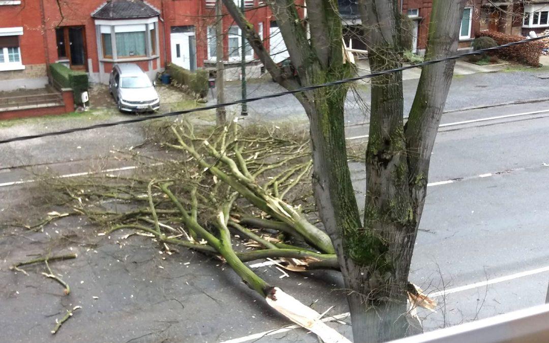 7 tilleuls vont être abattus boulevard de l'Ourthe: ils présentaient des risques de chute