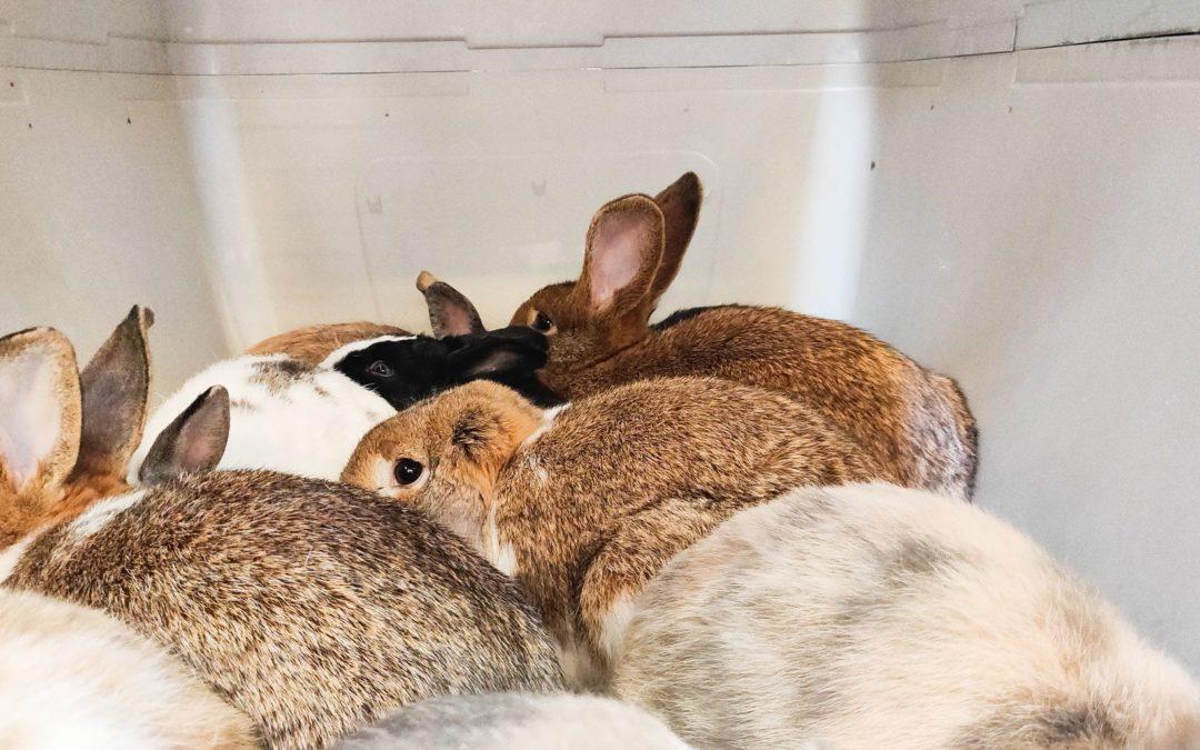 Un Liégeois dépassé par la reproduction de ses lapins: il en confie 38 pour adoption à la SRPA