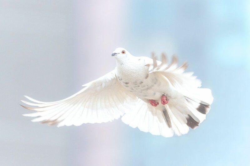 Les lâchers de colombes et de rapaces désormais interdits à Liège