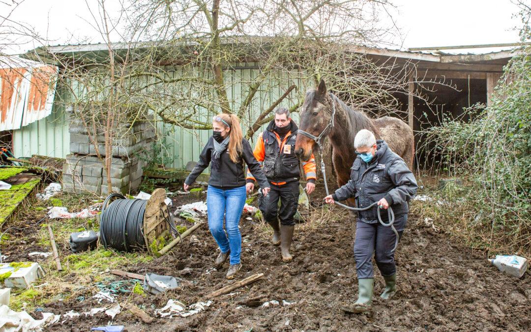 Trois chevaux sauvés de conditions de vie déplorables grâce au réseau de bien-être animal liégeois