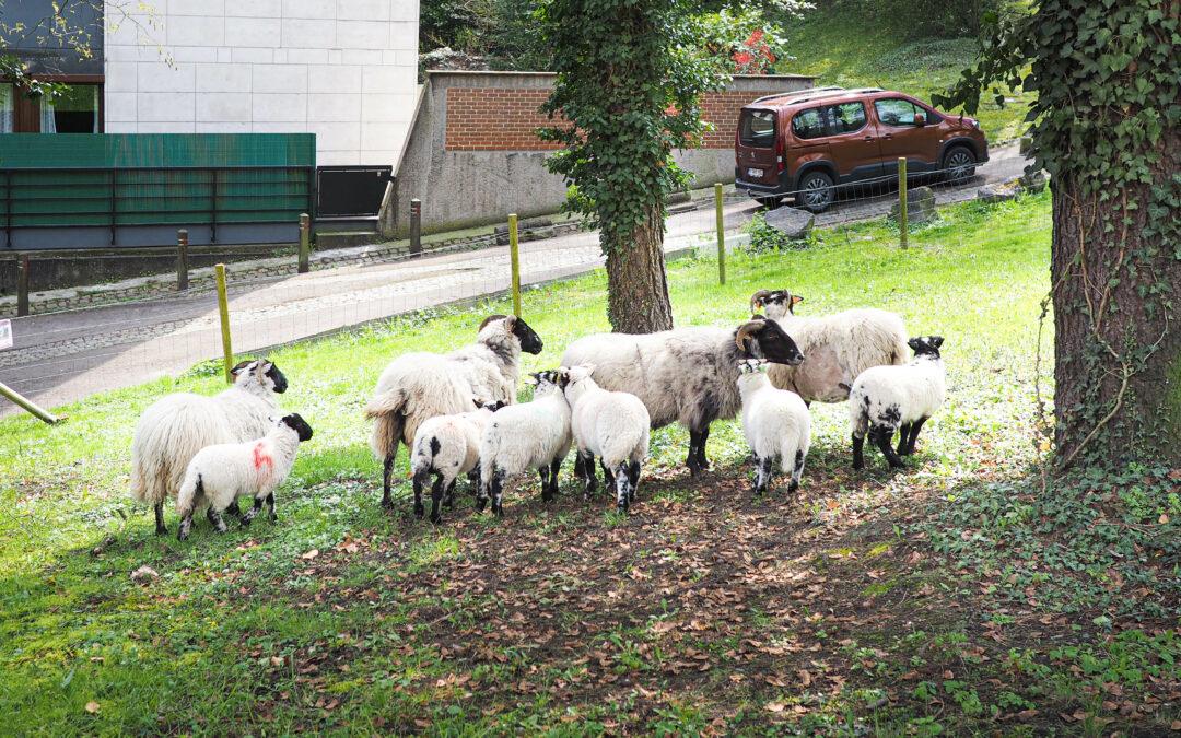 Le moutons sont de retour près du parc de Cointe