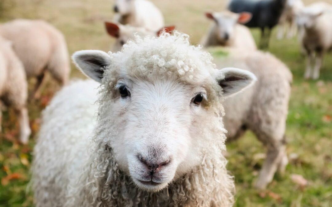 7 hectares d'écopâturage avec des moutons sur le site du Trilogiport