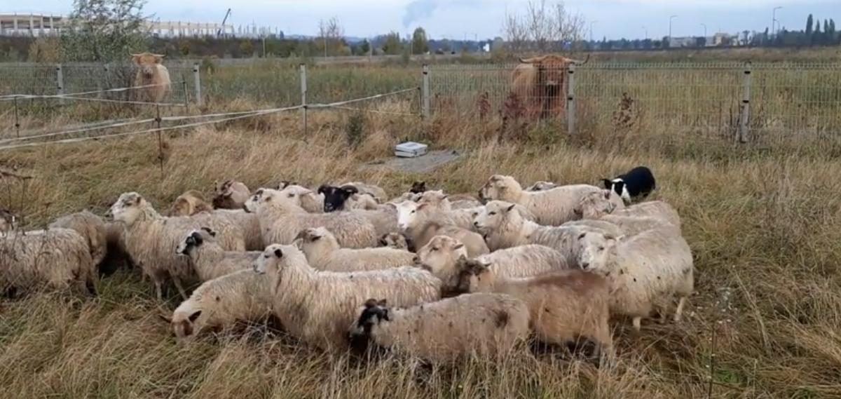 Des vaches et des moutons en éco-pâturage pour assurer la biodiversité au Trilogiport